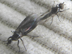 Mating Flies