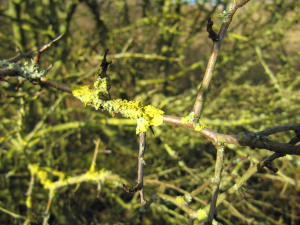 Unknown Lichen