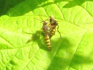 Hoverfly ?