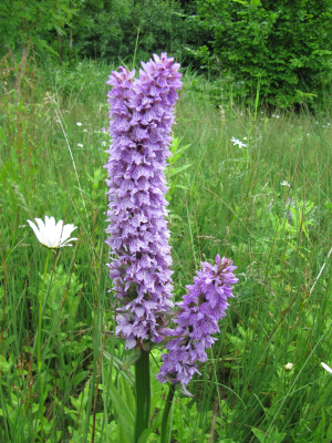 Common Spotted-Orchid (Bifurcated)