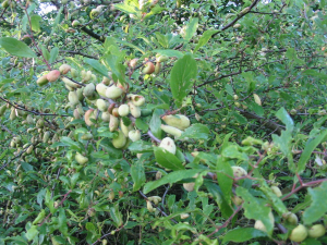 Pale and misshapened sloes