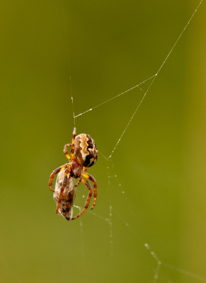Cross Spider (Araneus diadematus) with hoverfly prey