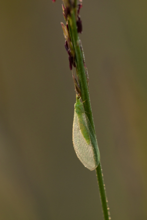 Blue Lacewing (Chrysopa perla)