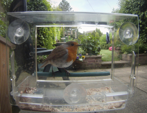 Robin on Window Feeder