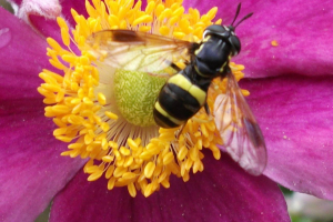 unidentified Hover fly