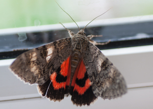 Moth---Crimson-underwing
