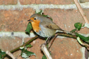 Robin (Erithacus rubecula melophilus)