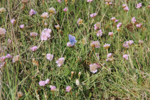 Branaster today.  Common Blue