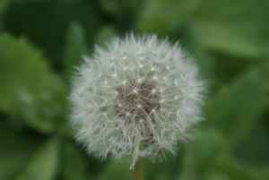 Dandelion in close up