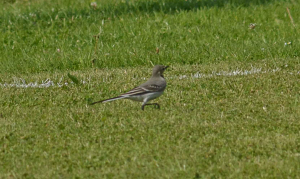 What type of Wagtail ?