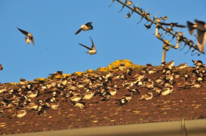 Gathering of house martins