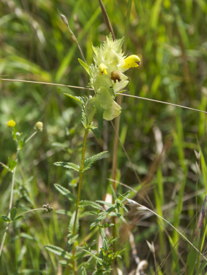 Greater Yellow Rattle