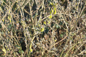 Goat Willow with catkins