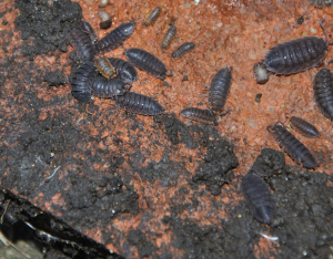 Common Rough Woodlice