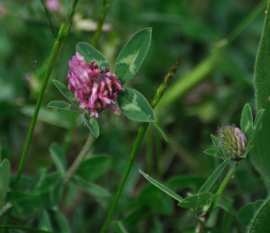 red clover_121