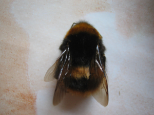 Maybe a queen bumble bee