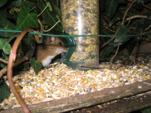 woodmouse on birdtable