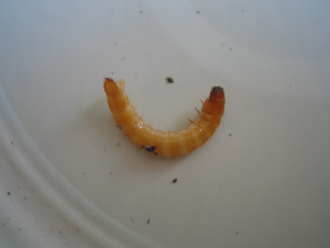 click beetle larvae or wireworm