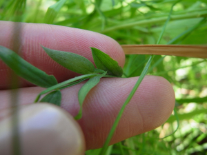 Possible meadow vetchling