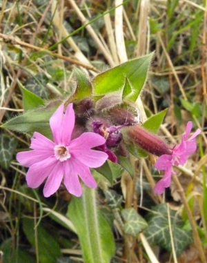Red Campion ?