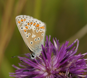 Common or Adonis Blue?