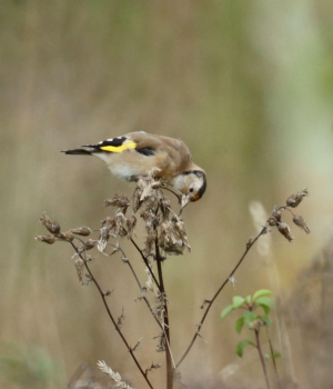 Goldfinch (juv.)