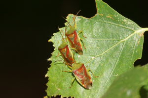 Birch shieldbugs