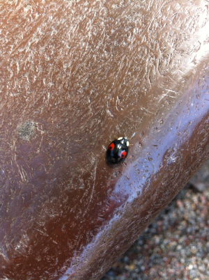 Ladybird or not?