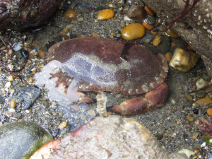 Chancre crab