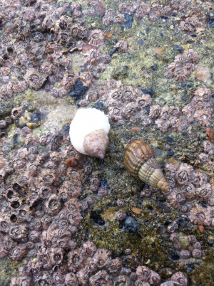 Netted Dog Whelk