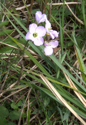Cuckooflower
