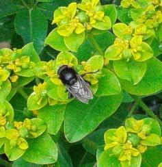 Not a bumblebee but a hoverfly