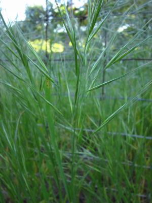 Great brome (just another brome)