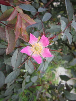 Red-leaved rose