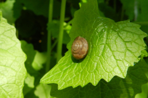 which snail?