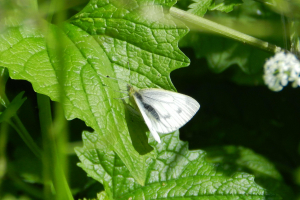 Green-veined White?