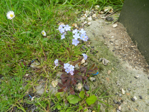 A Forget-me-not