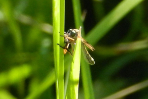 What is it? It's a robberfly (Leptogaster)