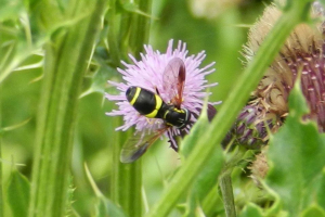 Hoverfly on Thistle.