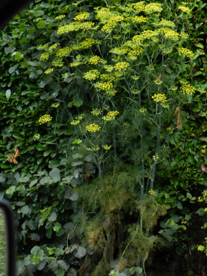 yellow umbellifer?