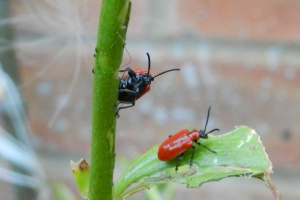 At least five Lily Beetle's