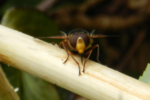Huge Hoverfly!