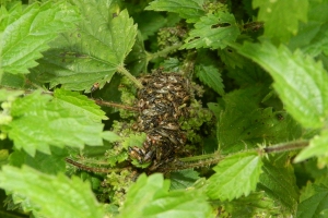 Nettle Ground Bug Nymphs