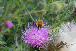 A Carder Bee?