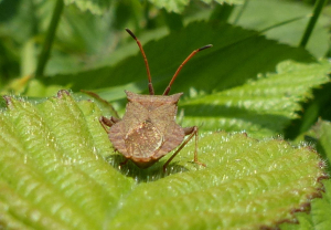 Shieldbug for ID please