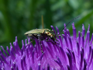Swollen-thighed Beetle?
