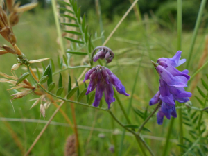 Tufted Vetch?