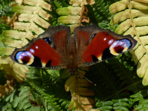 Butterfly with two tongues?
