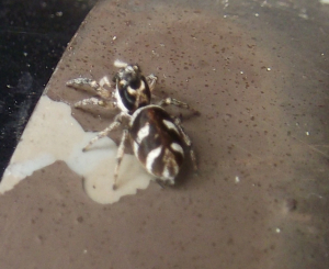 Spider with clear markings