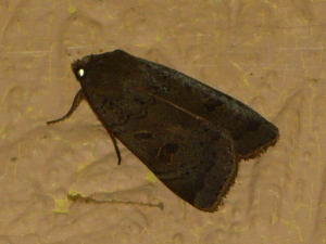 Lesser Broad-bordered Yellow Underwing?